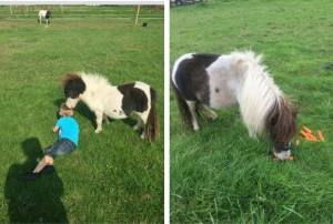 Police probe disappearance of mini pony