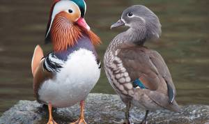 Mandarin ducks, similar to those taken